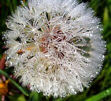 Dew Soaked Dandelion by trish725
