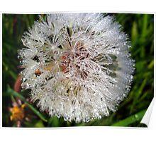 Dew Soaked Dandelion Poster