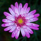 Pink Daisy  by John  Spry