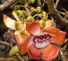 Cannonball Tree Tropical Flower by Georgia Mizuleva