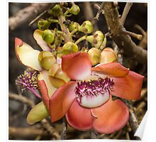 Cannonball Tree Tropical Flower Poster