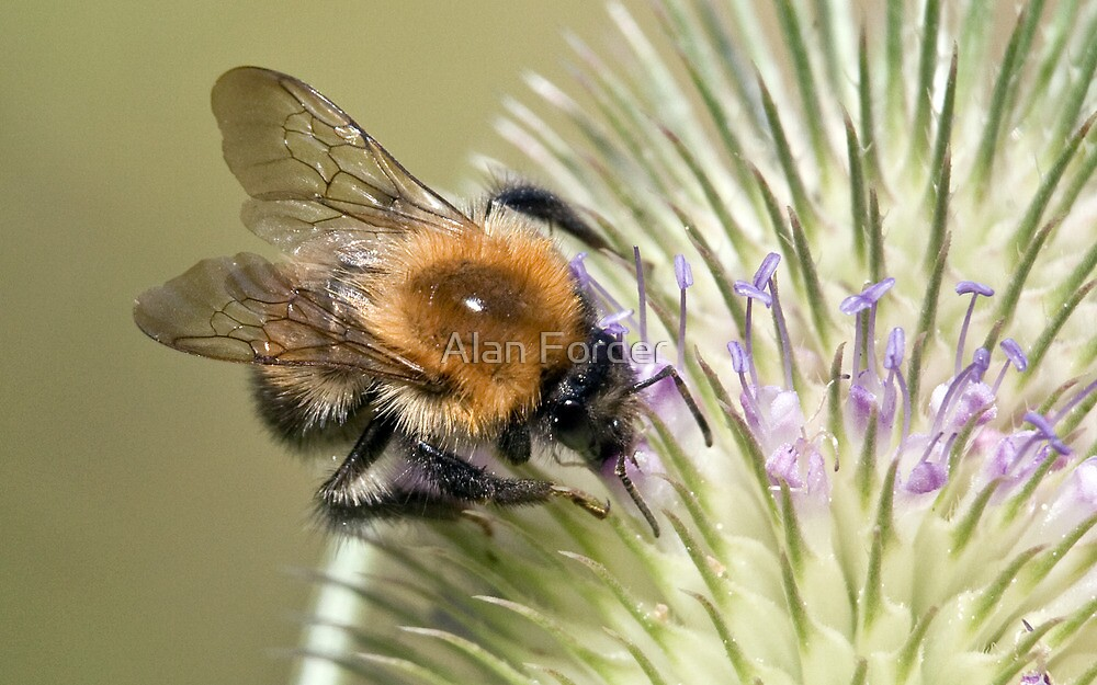 Bee on teasle by Alan Forder