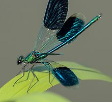 Spread your wings - Calopteryx splendens by Peter Wiggerman