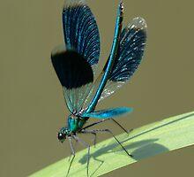 Calopteryx splendens by Peter Wiggerman