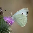 Large White by Gill Langridge