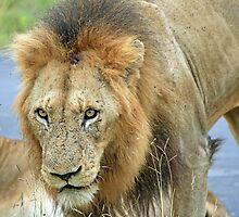 African Lion by DRWilliams