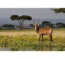 Male waterbuck Photographic Print