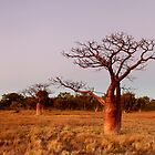 Boab Trees @ Derby WA by Mark Ingram