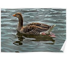 Greylag goose wroxham broad Poster