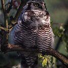Hawk owl by Arve Bettum