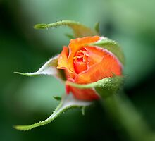 Rose Bud by cathywillett