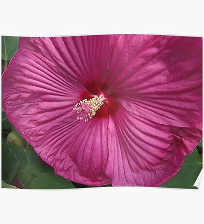 First Hibiscus Poster