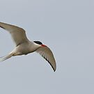 Arctic Tern by Margaret S Sweeny
