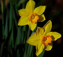Daffodils by Clare Colins