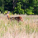 Deer in Prairie - Fernald Preserve by Tony Wilder