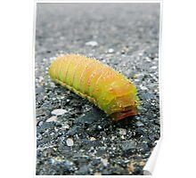 Luna Moth Caterpillar Poster