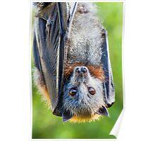 Grey-headed Flying-fox Poster