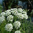 Water Hemlock by Kathleen M. Daley