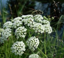 Water Hemlock by Kathleen Daley