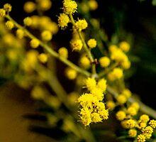 Golden Wattle  by Leonie Morris