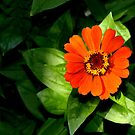 Orange Zinnia Elegans by ivDAnu
