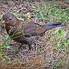 """ Female Blackbird "" by Malcolm Chant"