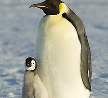 Emperor Penguin and ChickTaken at Auster Rookery, Near Mawson Station, Antarctica.  by AndersHamilton