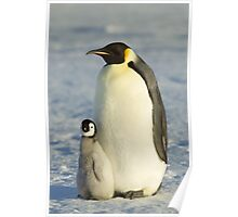 Emperor Penguin and ChickTaken at Auster Rookery, Near Mawson Station, Antarctica.  Poster