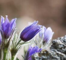 Cluster of Pasque Flowers Sticker