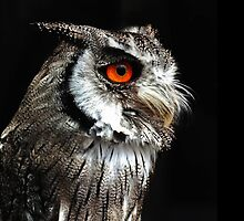 White Faced Scops Owl by Yampimon