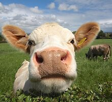 Funny cow looking over hedge by Janet Jenkins