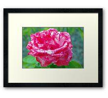 Hot pink rose Framed Print