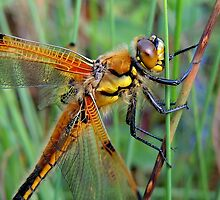 Four-spotted Chaser 05 by Magic-Moments