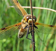 Four-spotted Chaser 10 by Magic-Moments