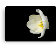 Open White Tulip in Profile Canvas Print