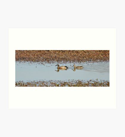 Blue-winged Teal Art Print