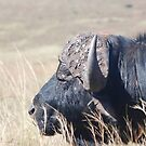 Buffalo by Michelle *