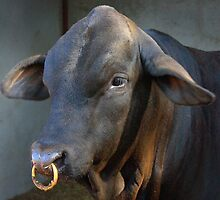 Beef-master Bull with nose ring by Cassandra Scarborough
