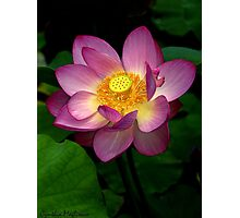 Water Lily Glow Photographic Print