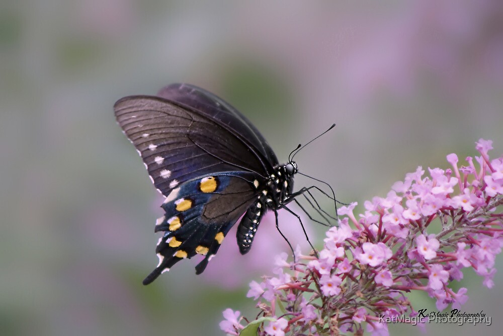 Pipevine Swallowtail by KatMagic Photography