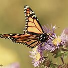 Monarch and Asters by KatMagic Photography