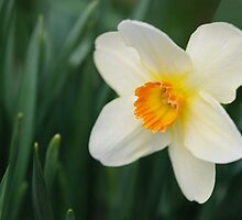 One Miniature Daffodil by gurineb