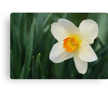 One Miniature Daffodil Canvas Print