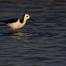 Pied Stilt by Robyn Carter