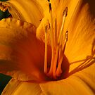Beautiful Orange by lorilee