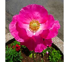 Cotton Candy Poppy  Photographic Print