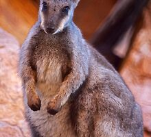 Black Footed Wallaby 2 by D-GaP