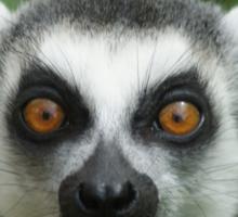 shocked lemur Sticker