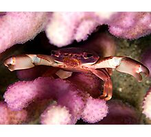 Purple coral crab Photographic Print