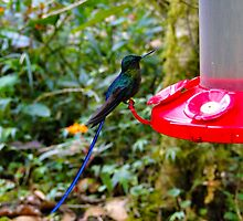 Blue Tailed Hummingbird by Al Bourassa